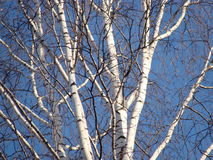 Birch tree. White branches of the birch tree on a blue sky background Stock Photos