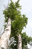 Birch Tree. Vertical photo of the top a birch tree Royalty Free Stock Images