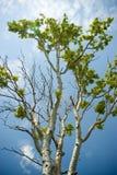 Birch tree. On blue sky stock image