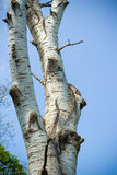 Birch tree Royalty Free Stock Image