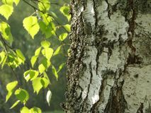 Birch tree Stock Images