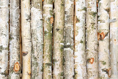 Birch tree Royalty Free Stock Images