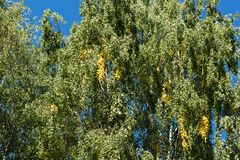 Birch tree against the background of blue sky. Green leaves with some tresses of yellow color. The beginning of autumn season. Floral background or backdrop royalty free stock photos