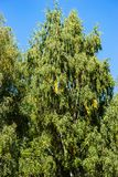 Birch tree against the background of blue sky. Green leaves with some tresses of yellow color. The beginning of autumn season. Floral background or backdrop royalty free stock images