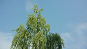Birch Tree Against a Blue Sky stock footage