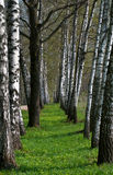 Birch Tree Alley Royalty Free Stock Images