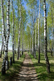 Birch-tree alley Stock Photography