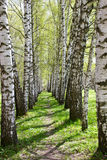 Birch-tree alley Royalty Free Stock Images