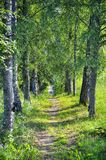 Birch tree alley with footpath in Russia Royalty Free Stock Image