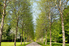 Birch tree alley Stock Photos