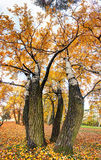 Birch tree as vertical panorama at autumn Stock Image