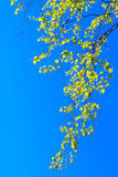 Birch Tree At Spring Stock Images