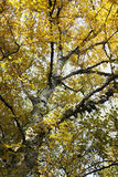 Birch tree in autumn Royalty Free Stock Images