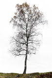 Birch tree in autumn Royalty Free Stock Image