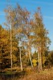 Birch tree. Autumn landscape with birch tree stock photography
