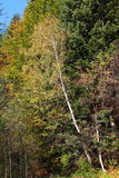 Birch-tree autumn leaves. Autumn colors in mountain, edge of the forest Royalty Free Stock Photography