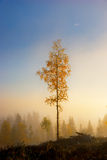 Birch tree in autumn Royalty Free Stock Image