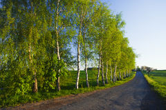 Birch tree avenue. With road in summer royalty free stock photo