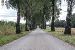 Birch Tree Avenue royalty free stock images