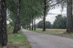 Birch Tree Avenue stock photo