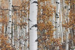 Birch Tree Background Texture Royalty Free Stock Photography