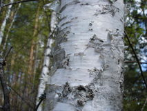 Birch tree and bark Stock Images