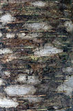 Birch tree bark Royalty Free Stock Image