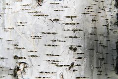 Birch tree bark background Stock Images
