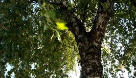 Birch tree Betula pendula royalty free stock photos