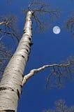 Birch tree-betula spp Royalty Free Stock Photo