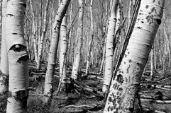 Birch tree-betula spp Royalty Free Stock Images