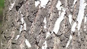 Birch tree. The birch tree bark close-up stock footage