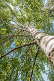 Birch tree. A bitch tree upper view Royalty Free Stock Images