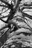 Birch tree black and white Stock Images