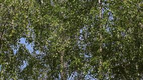 Birch tree blue sky wind nobody background hd footage. Day light stock video footage