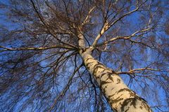 Birch tree Royalty Free Stock Photos