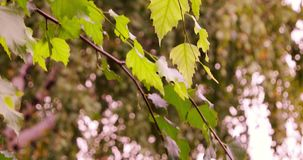 Birch tree branch with green leaves in the city park.  stock video footage