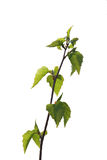 Birch tree branch with green leaves Stock Photo