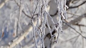 Birch tree branch in hoarfrost on a blurred defocused background. Rime branch of birch tree on a blurred background stock video