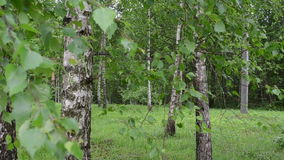Birch tree branch trunk. Closeup of birch tree trunks and branches with green leaves move in wind stock footage
