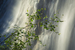Birch Tree Branch with Waterfall Royalty Free Stock Image