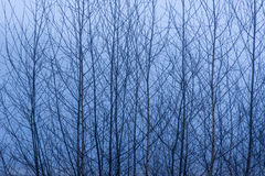 Birch tree branches against a misty background Royalty Free Stock Image