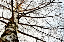 Birch-tree. Birch is a broadleaved deciduous hardwood tree of the genus Betula Stock Photos