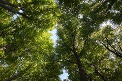 Birch Tree Canopy Stock Photo