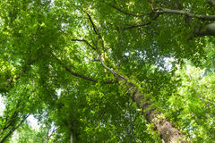 Birch Tree Canopy Royalty Free Stock Images