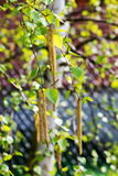 Birch tree catkins Stock Images