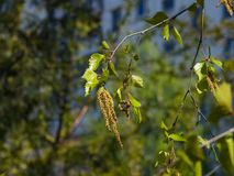 Birch tree catkins and young leaves on branch with bokeh background macro, selective focus, shallow DOF Stock Photos