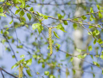 Birch tree catkins and young leaves on branch with bokeh background macro, shallow DOF, selective focus Royalty Free Stock Photography