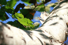 Birch Tree Close Up Royalty Free Stock Photography