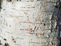 Birch tree close up. Birch bark on a tree stock photos